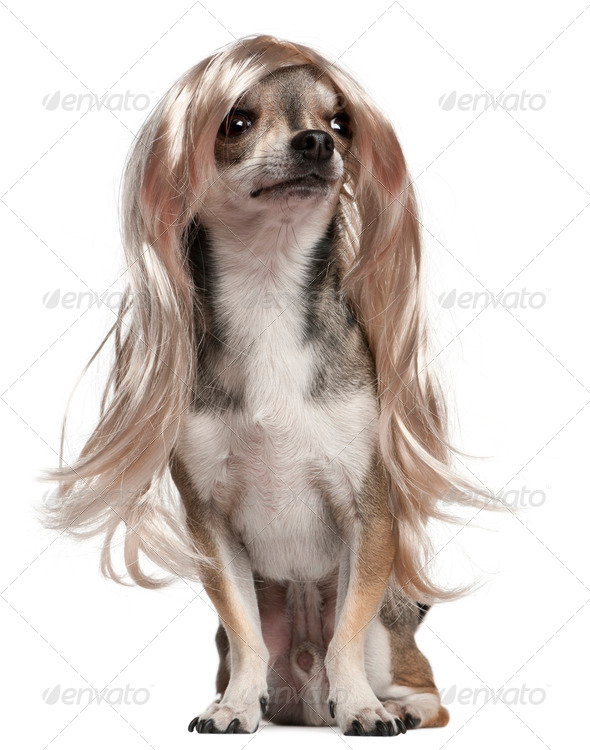 Chihuahua with long hair wig, 3 years old, sitting in front of white background - Stock Photo - Images