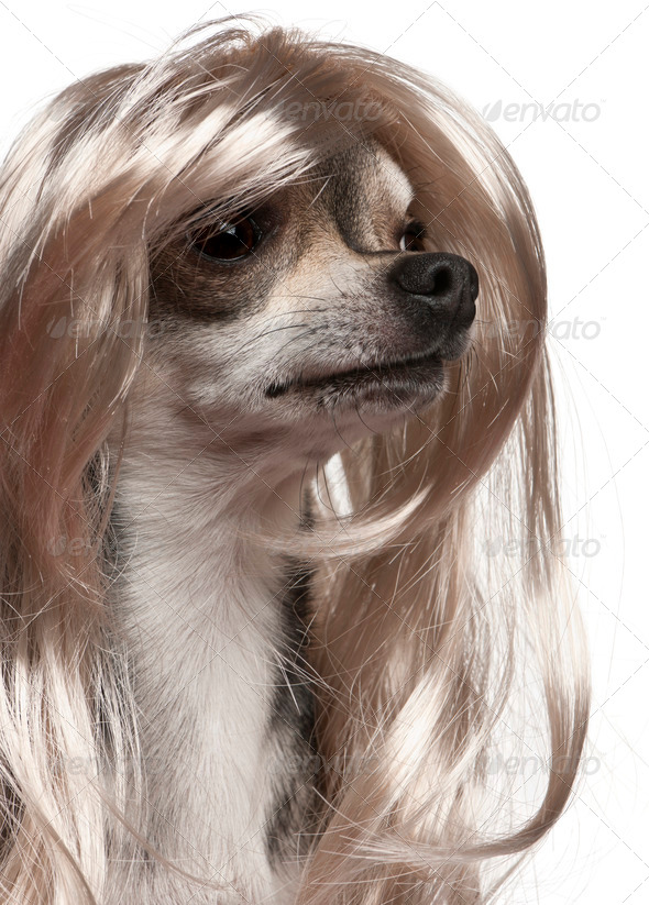 Close-up of Chihuahua with long hair wig, 3 years old, in front of white background - Stock Photo - Images