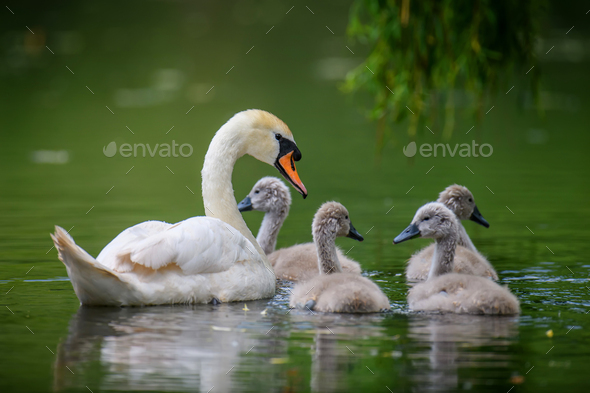 Mute swan Cygnus olor with baby. Cygnets on summer day in calm water. Bird in the nature habitat - Stock Photo - Images