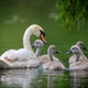 Mute swan Cygnus olor with baby. Cygnets on summer day in calm water. Bird in the nature habitat - PhotoDune Item for Sale