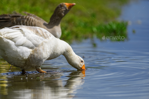 Geese on the shore river in the springtime - Stock Photo - Images