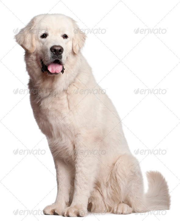 English Cocker Spaniel (9 years old), Polish Tatra Sheepdog (1 year old) - Stock Photo - Images