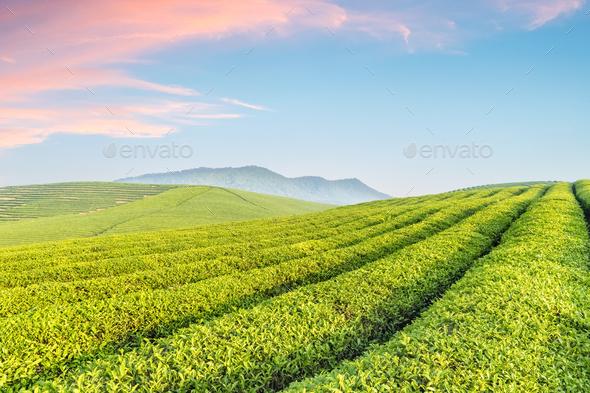 tea plantation with sunrise sky - Stock Photo - Images