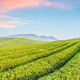 tea plantation with sunrise sky - PhotoDune Item for Sale