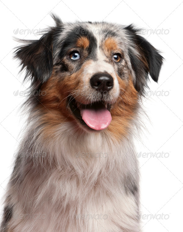 Australian Shepherd (1 year old), Parson Russell Terrier puppy (6 months old) - Stock Photo - Images