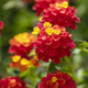 Colourful Hedge Flower Lantana or Weeping Lantana - PhotoDune Item for Sale