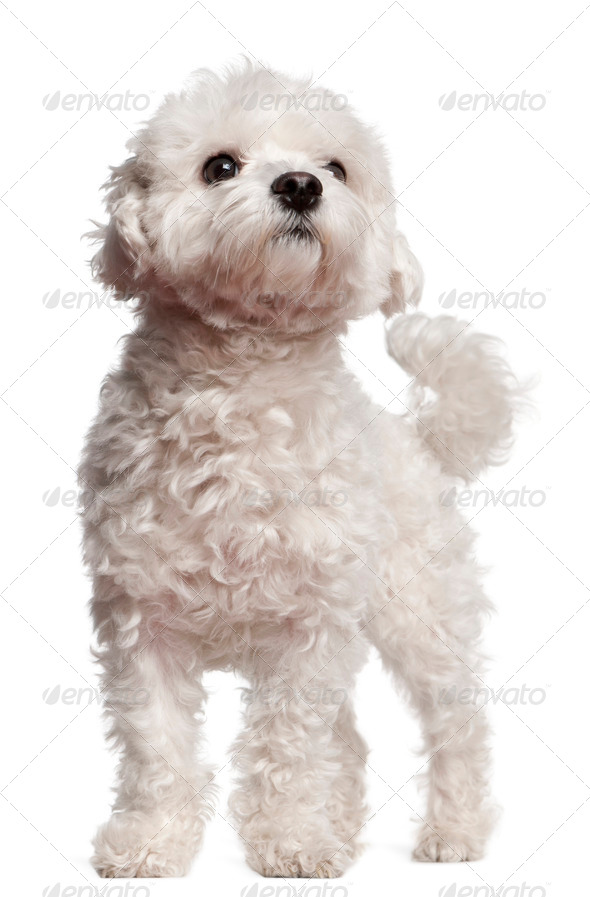 Maltese (2,5 years old) - Stock Photo - Images