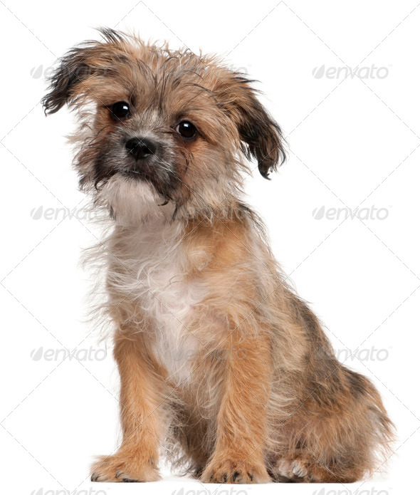 Mixed-breed puppy (3 months old) - Stock Photo - Images