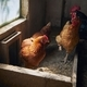 Hens at organic farm - PhotoDune Item for Sale