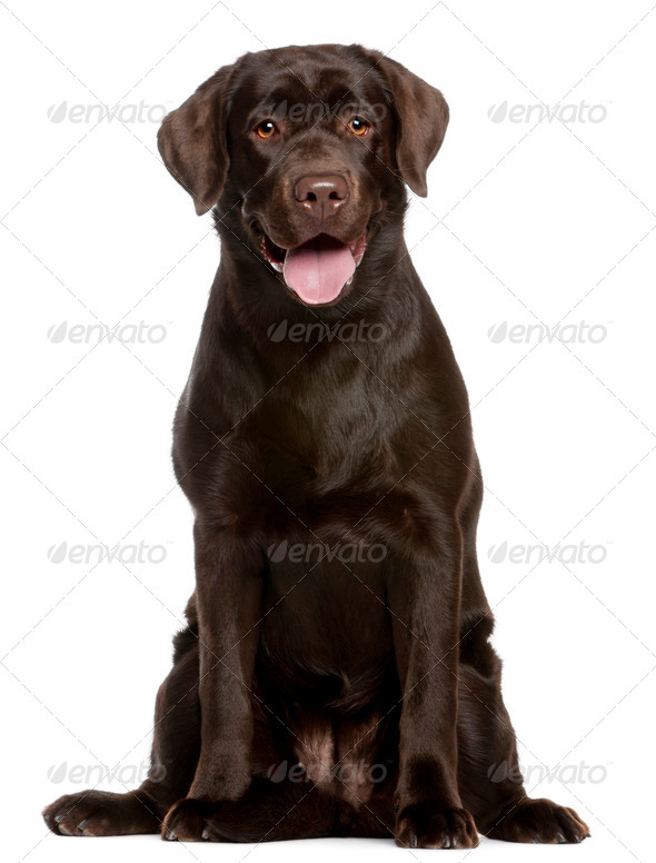 Labrador Retriever (7 months old) - Stock Photo - Images