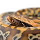 Sumatran Short Tail Python isolated on white background - PhotoDune Item for Sale