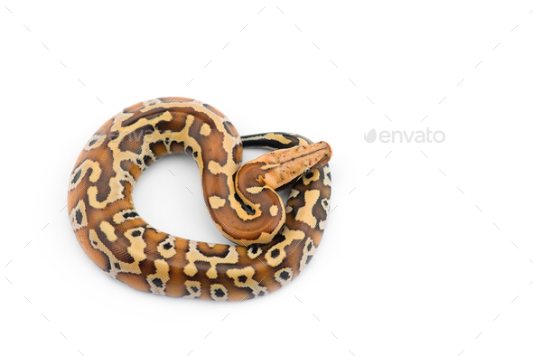 Sumatran Short Tail Python isolated on white background - Stock Photo - Images