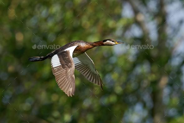 Red-necked grebe (Podiceps grisegena) - Stock Photo - Images