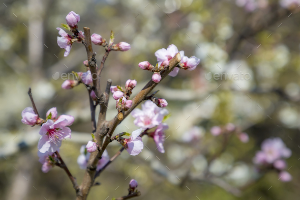 Spring blossoms tree - Stock Photo - Images