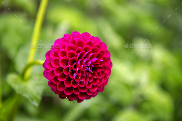 Red flower - Stock Photo - Images