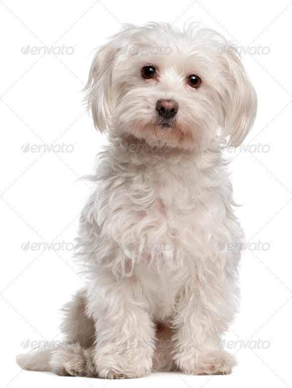 American Staffordshire Terrier (14 months old), Maltese (8 years old) - Stock Photo - Images