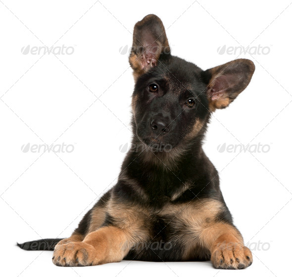 German Shepherd Dog puppy (3 months old) - Stock Photo - Images