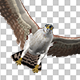 American Kestrel - Flying Transition - VideoHive Item for Sale