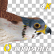 American Kestrel - 4K Flying Loop - Side View - VideoHive Item for Sale