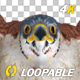 American Kestrel - 4K Flying Loop - Front View - VideoHive Item for Sale