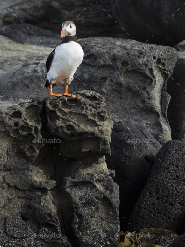 Atlantic Puffin on rocks of Akurey island - Stock Photo - Images