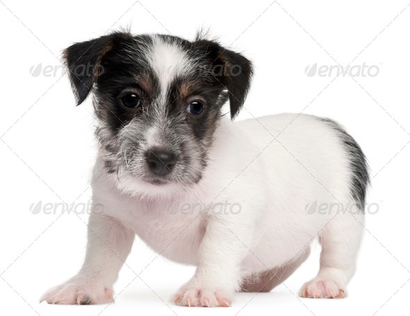 Jack Russell Terrier puppy, 2 months old, in front of white background - Stock Photo - Images