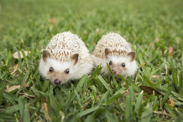 Two hedgehogs on the grass. - Stock Photo - Images