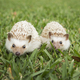 Two hedgehogs on the grass. - PhotoDune Item for Sale