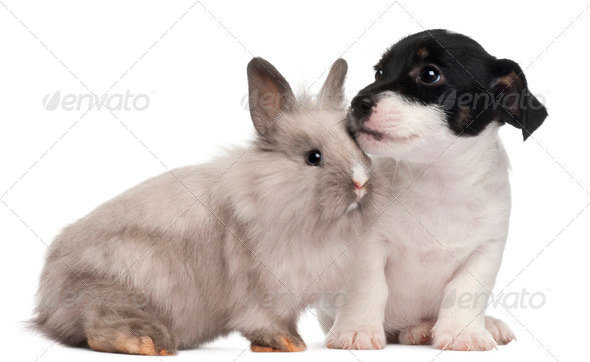Jack Russell Terrier puppy, 2 months old, and a rabbit, in front of white background - Stock Photo - Images