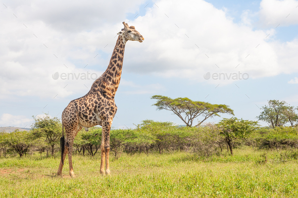 A Mature Male Giraffe - Stock Photo - Images
