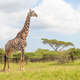 A Mature Male Giraffe - PhotoDune Item for Sale
