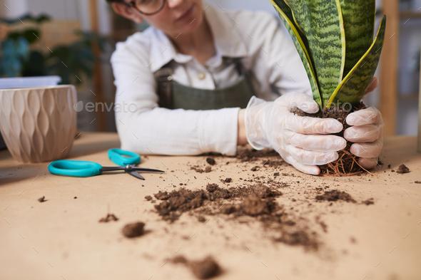 Young Woman Potting Houseplants Closeup - Stock Photo - Images