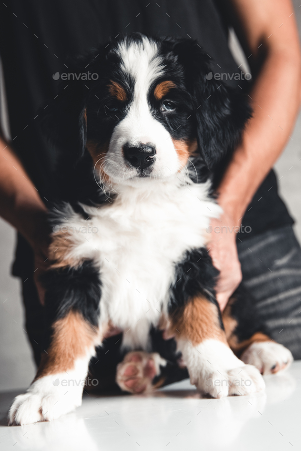 Bernese mountain dog puppy in female hands, care for animals, newborns - Stock Photo - Images