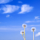 Dandelions on a background of summer blue sky with clouds - PhotoDune Item for Sale