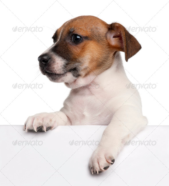 Jack Russell Terrier puppy, 2 months old, getting out of a box in front of white background - Stock Photo - Images