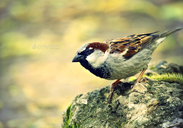 single sparrow - Stock Photo - Images