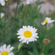 white daisy on green meadow gras background - PhotoDune Item for Sale