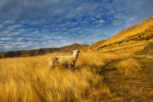 Sheep - Stock Photo - Images