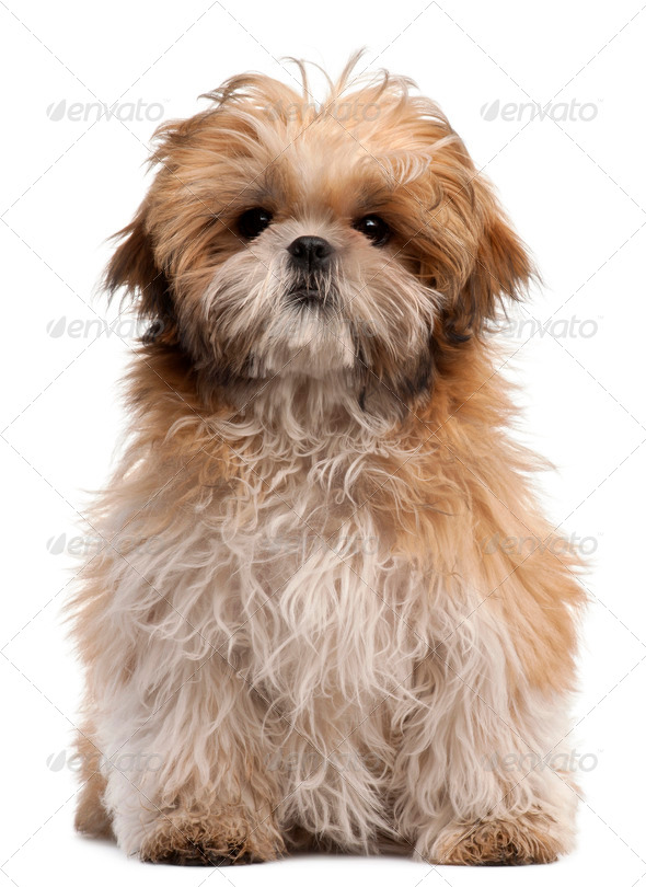 Shih-tzu puppy, 6 months old, sitting in front of white background - Stock Photo - Images