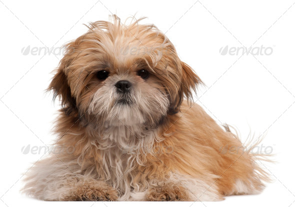 Shih-tzu puppy, 6 months old, lying in front of white background - Stock Photo - Images