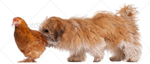 Shih-tzu puppy, 6 months old, and a hen in front of white background - Stock Photo - Images