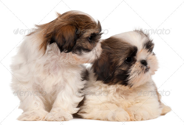 Two Shih-tzus in front of white background - Stock Photo - Images