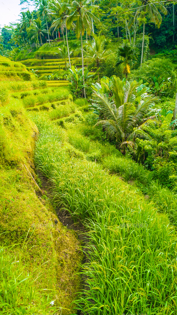 Tourist walking path along amazing tegalalang rice terrace fields with beautiful coconut palm trees - Stock Photo - Images