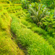 Tourist walking path along amazing tegalalang rice terrace fields with beautiful coconut palm trees - PhotoDune Item for Sale