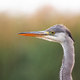 Interested grey heron observing surroundings in summer wetland - PhotoDune Item for Sale