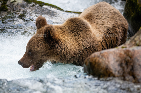Majestic brown bear standing in river during summer - Stock Photo - Images