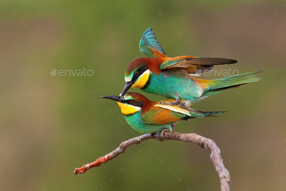 Two european bee-eaters copulating in breeding season with green background - Stock Photo - Images