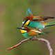 Two european bee-eaters copulating in breeding season with green background - PhotoDune Item for Sale