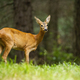 Young roe deer female standing in the summer forest - PhotoDune Item for Sale