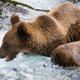 Majestic brown bear standing in river during summer - PhotoDune Item for Sale